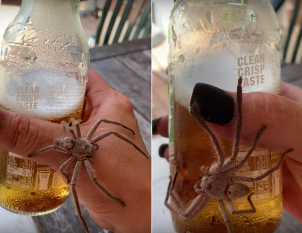 videó ausztrália sör pók