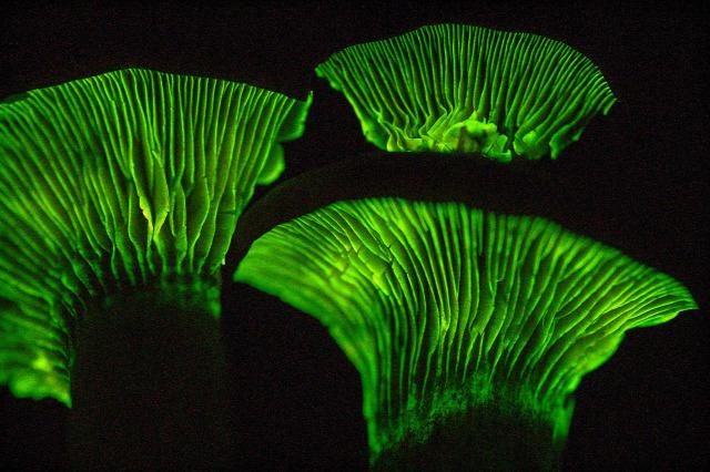 biolumineszcencia  szentjánosbogár világító tölcsérgomba nyári napforduló Szent Iván éj