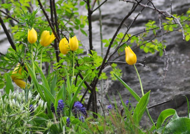 megfagynak-e a tulipanok tulipan fagy tulipan ultetes