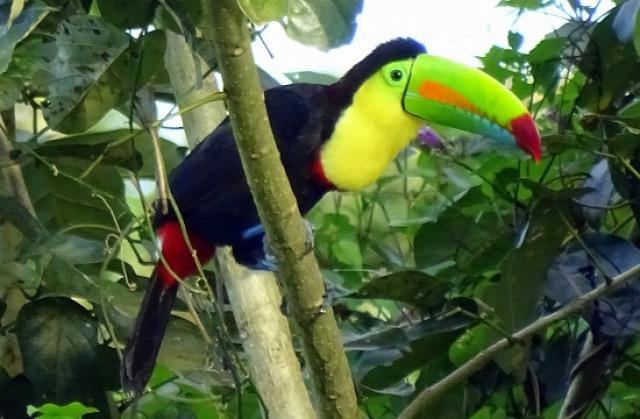 Oropendola és tukán - kettő a számtalan egzotikus madárból