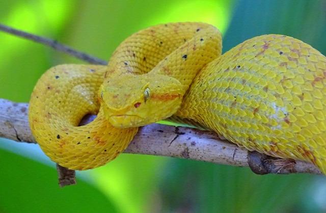 A sárga lándzsakígyókat valószínűleg a helyi vezetők rakják ki