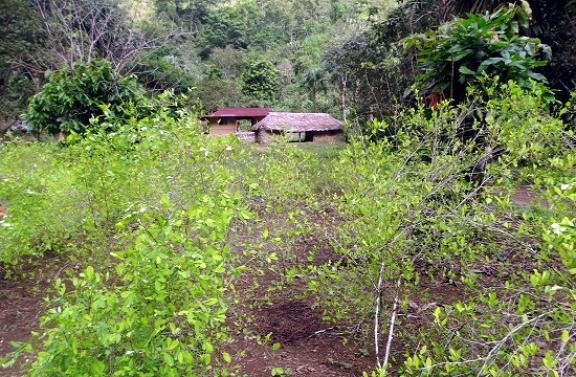 Kokacserjék Muthanziban