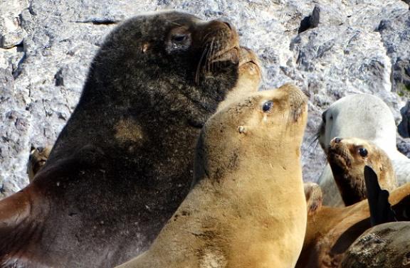 Most van az ellési időszak a tengeri farkasoknál