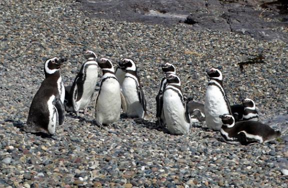Magellán-pingvinek fogadnak minket a parton