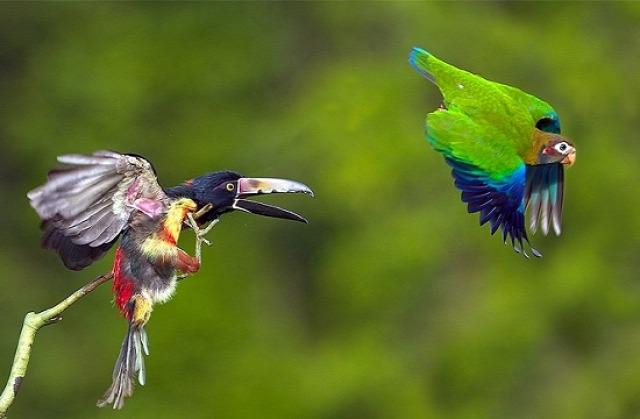 Aracari küzd a papagájjal (fotó: Bakos Gábor, 2010)