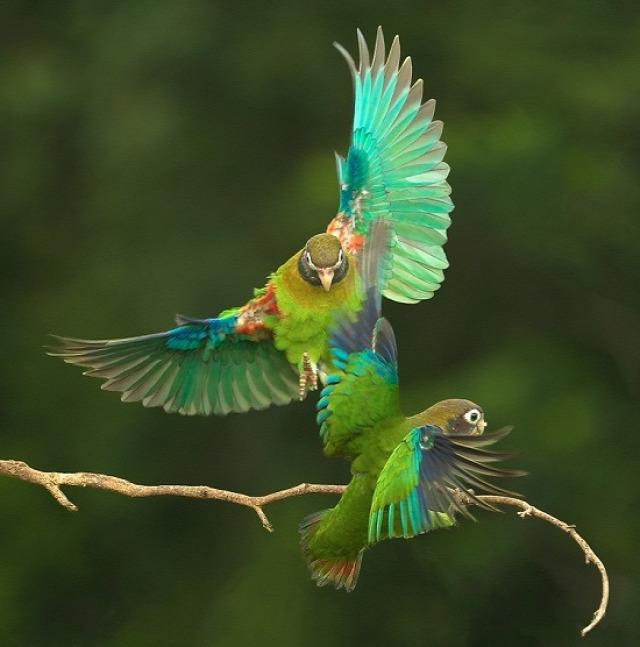 Papagájok harca (fotó: Bakos Gábor, 2010)