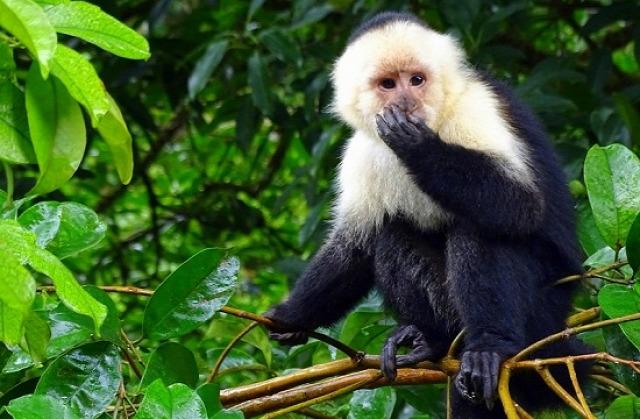 Csuklyás majmok lepték el a szállónkat