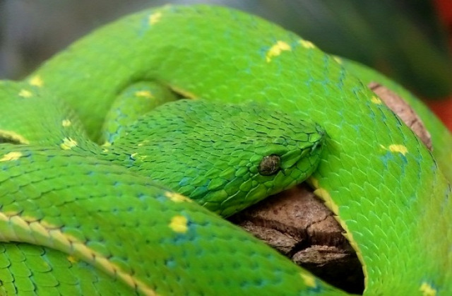 Egyike a Monteverdében élő mérges kígyóknak