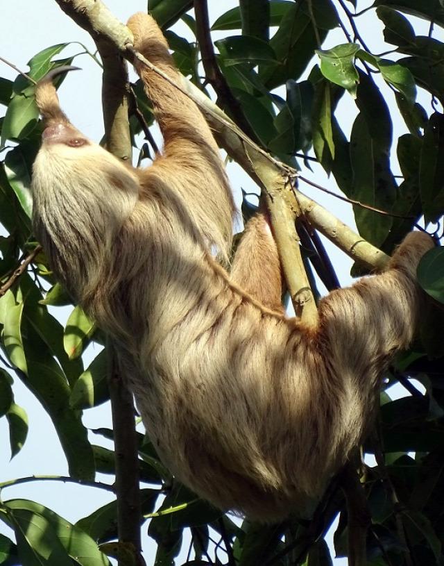 Panamaváros minden fáján lakik egy lajhár