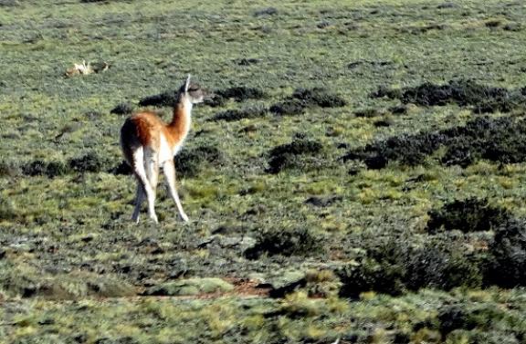 Buszablakból fotózott, még élő guanaco