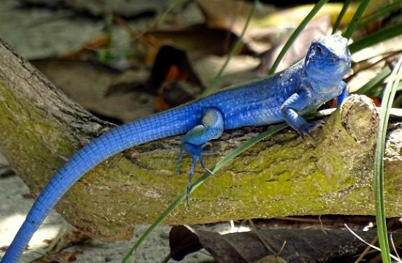 Iguánák és kék gyíkok lakják a szigetet