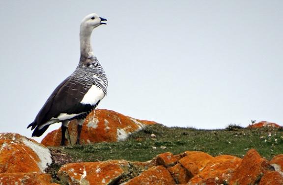 Cauquen, azaz patagóniai lúd