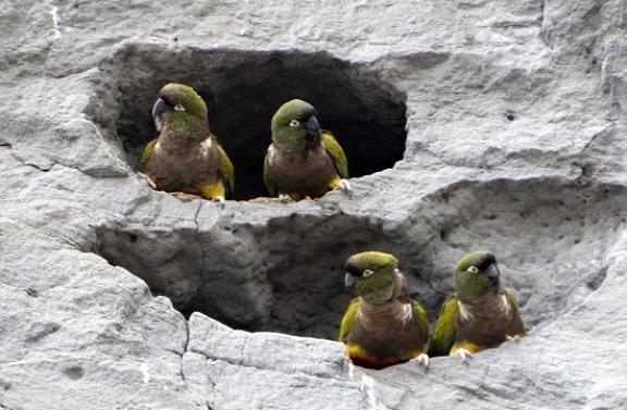 Több mint egymillió üregi papagáj él El Cóndor környékén