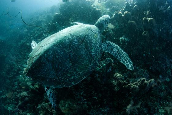 Bali teknős