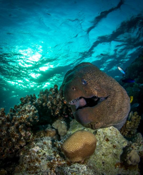 vörös-tenger muréna fotó