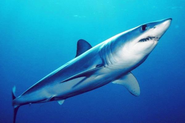 cápa egyiptom
