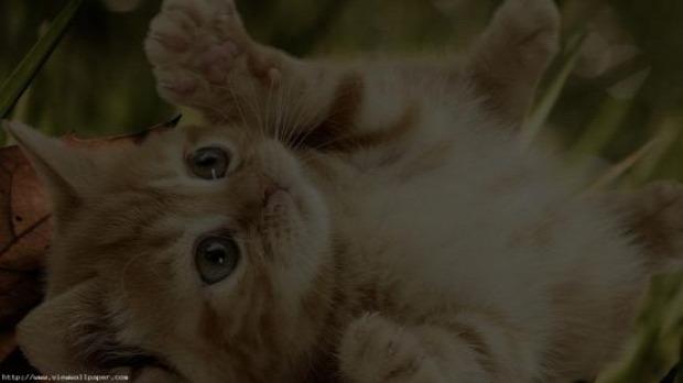 kölyök kicsi cica