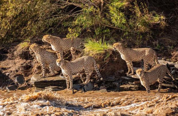 gepárd folyó árad úszik