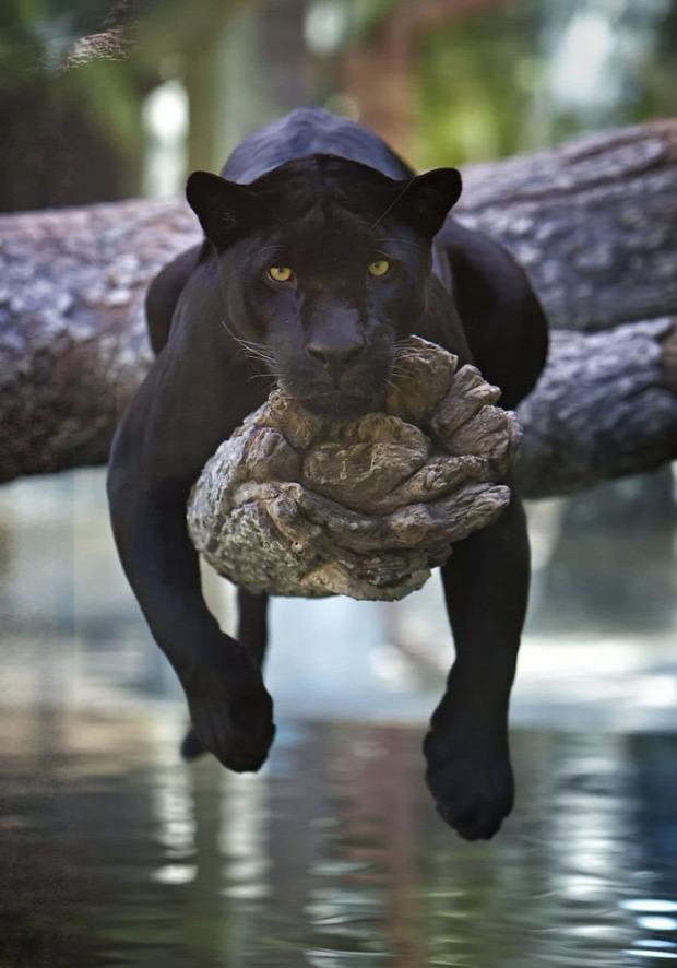 fekete macska párduc