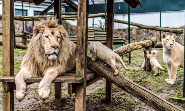 Nyíregyházi Állatpark fehér oroszlán kölyök