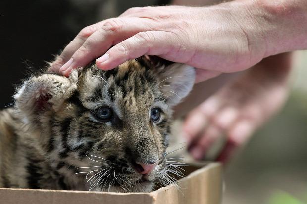 debreceni  állatkert szibéria tigris kölyök