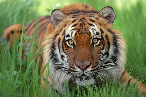 tigris bengáli India Banglades