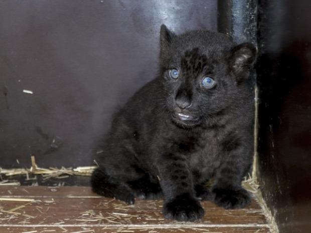 Szeged vadaspark állatkert jaguár bébi született