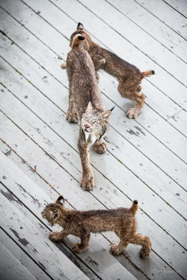 hiúz Alaszka Anchorage