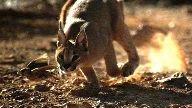 karakál macska vadászik madár