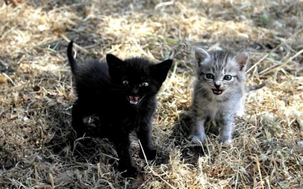 kiscica dühös haragos