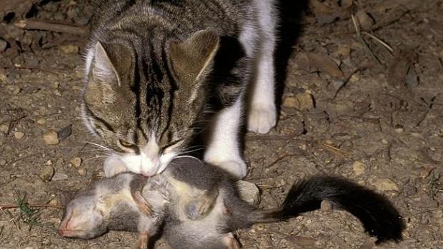 Ausztrália kóbor macska ökológiai katasztrófa