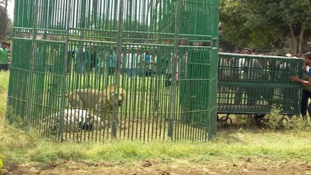 oroszlán gyilkos rezervátum