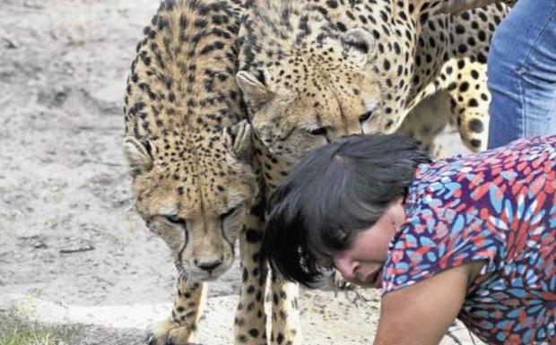 gepárd szafari támadás