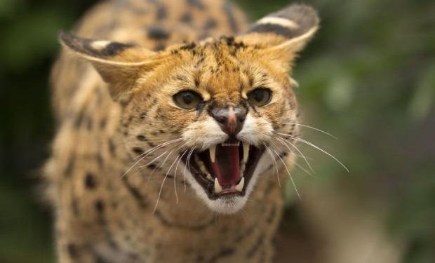szervál illegális tartás állatkert
