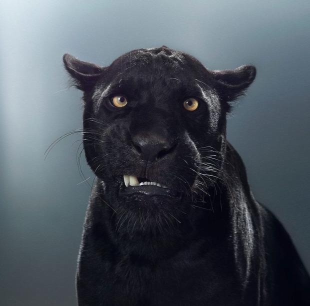nagymacska Maya jaguár