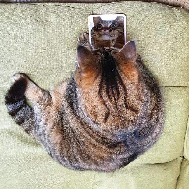 Manggo macska duci kövér