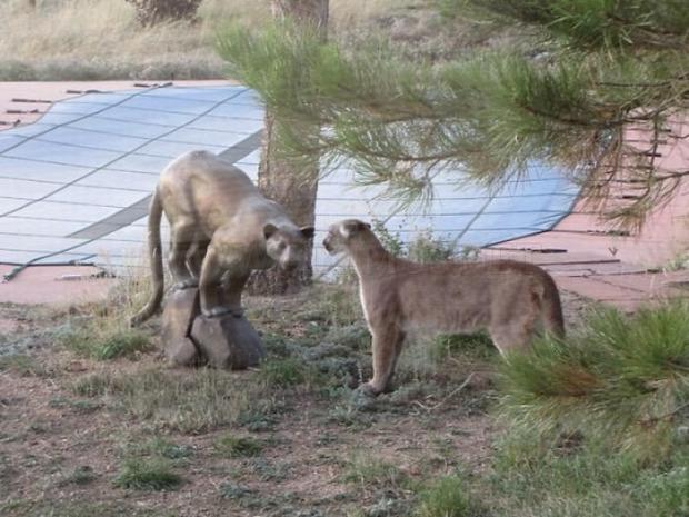 kert terasz hegyi oroszlán
