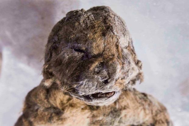 barlangi oroszlán fagyott Szibéria kölyök