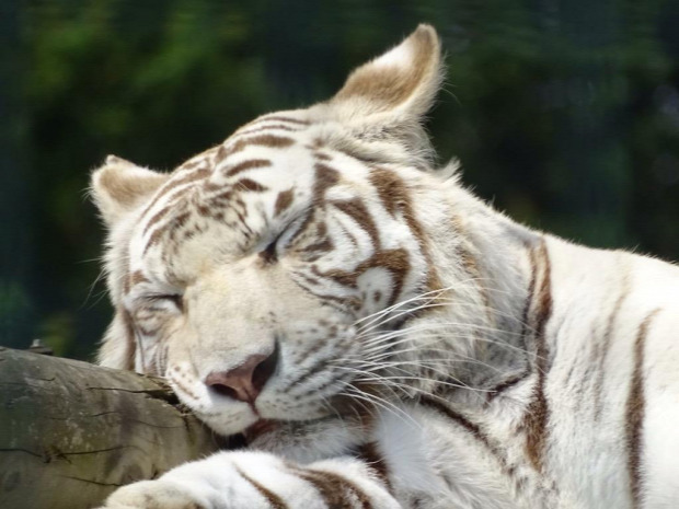 Nanrnia tigris fehér bengáli