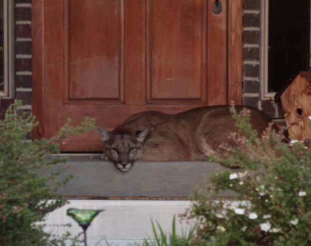 Utah ház ajtó puma alszik