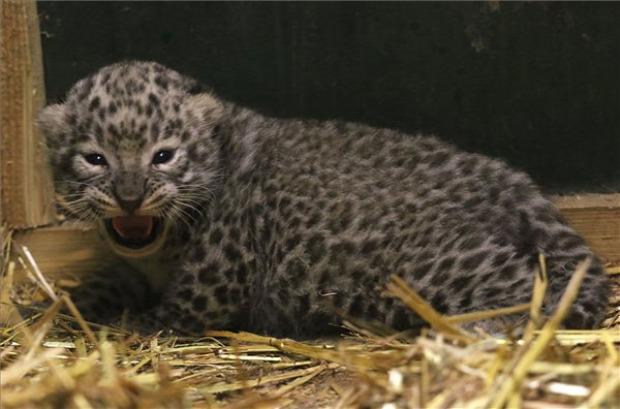 Miskolc állatkert perzsa leopárd kölyök