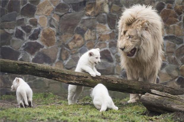 fehér oroszlán kölyök Nyíregyházi állatpark
