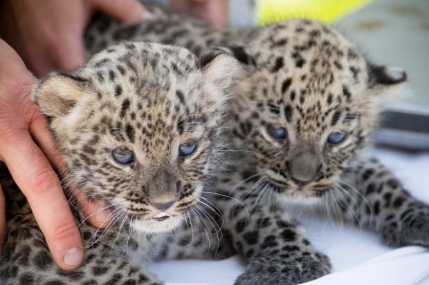 Nyíregyházi Állatkert Sóstó párduc perzsa leopárd