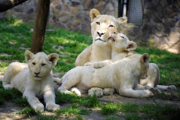 Nyíregyháza állatkert fehér oroszlán