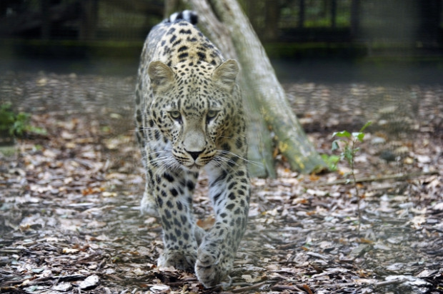 Állatkert perzsa párduc NyÍregyháza