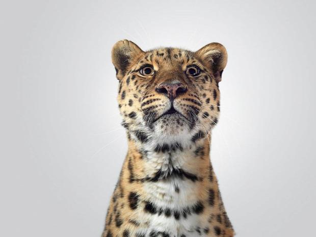 nagymacska leopárd amuri