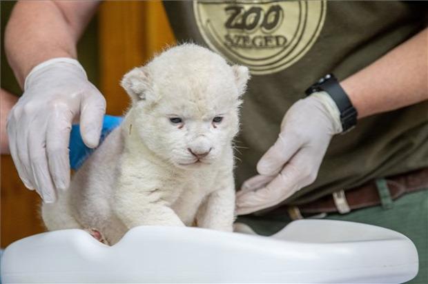 oroszlán fehér szeged született