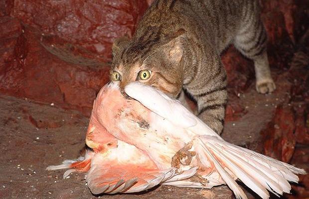 macska róka ausztrália öko-katasztrófa
