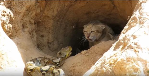 macska család kölyök kigyó kisfiú bennszülött