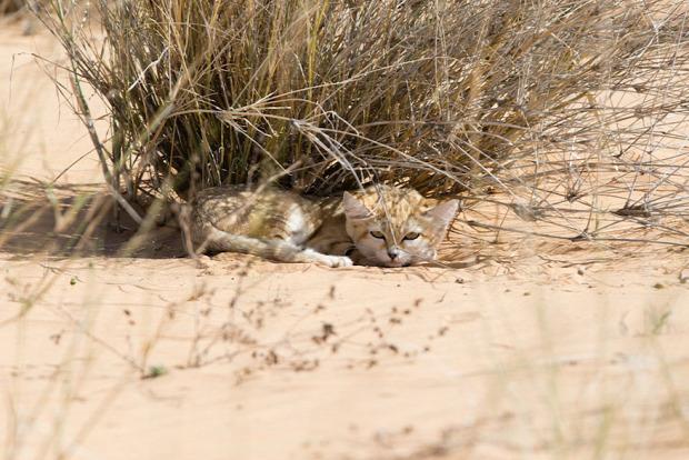 homoki macska szahara sivatag kölyök